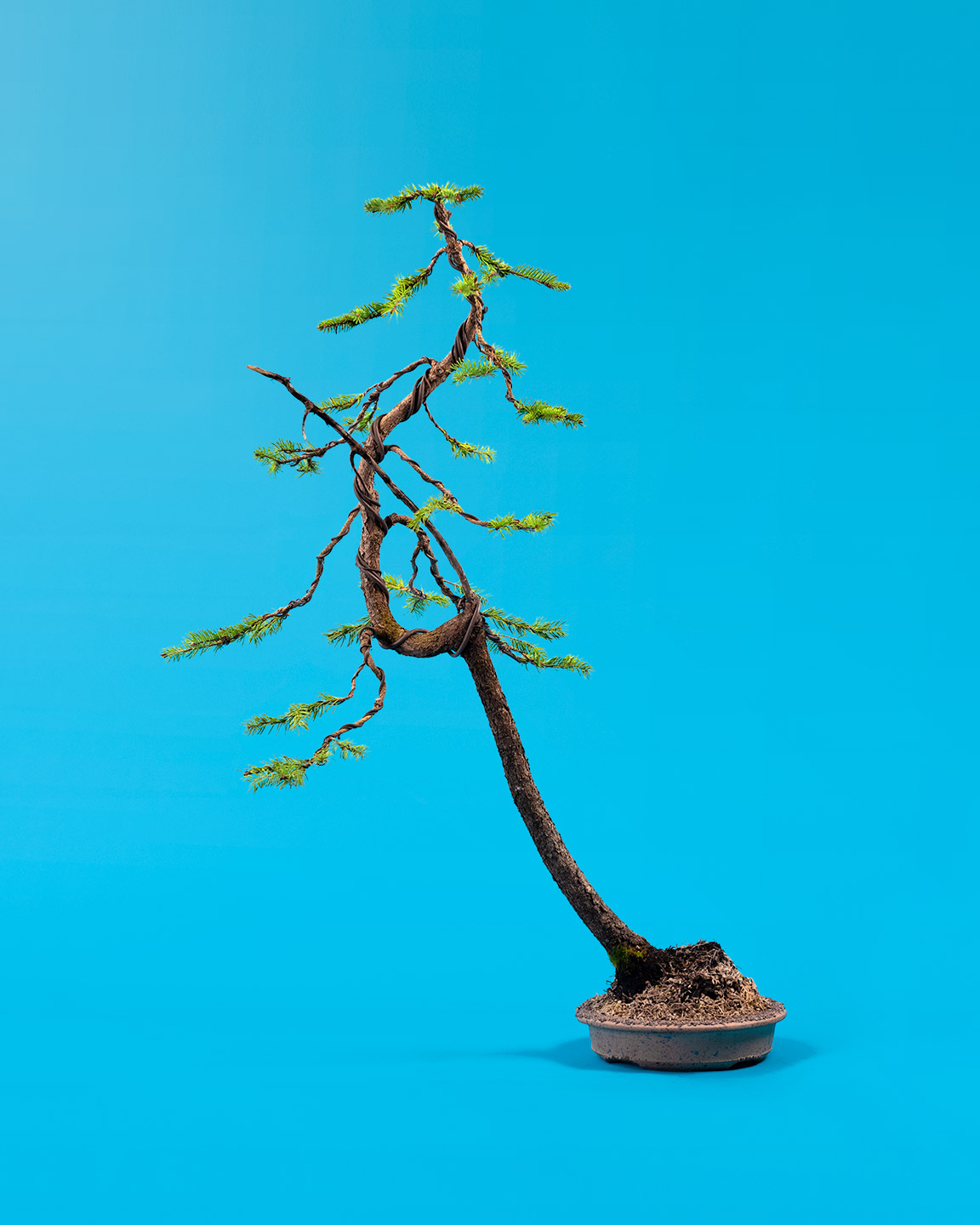 nursery_stock_bonsai